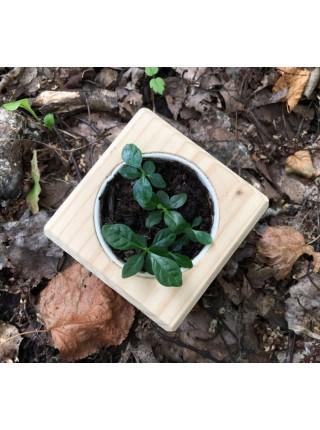 Набор для выращивания «Экокуб», гардения жасминовидная